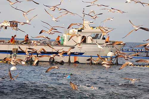 Birds clamour around as tonnes of fish are fed to the caged tuna [Elizabeth Dunningham]