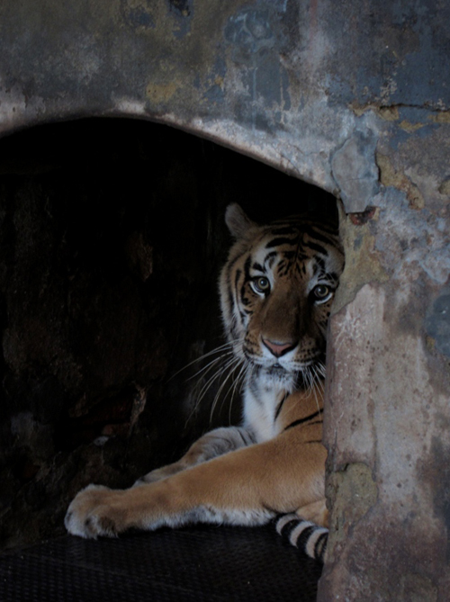 Tiger in the Trivandrum Zoo in Kerala, India [Kathy Hearn/Al Jazeera]