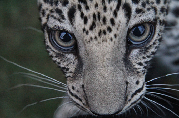 There are thought to be fewer than 200 Arabian leopards left