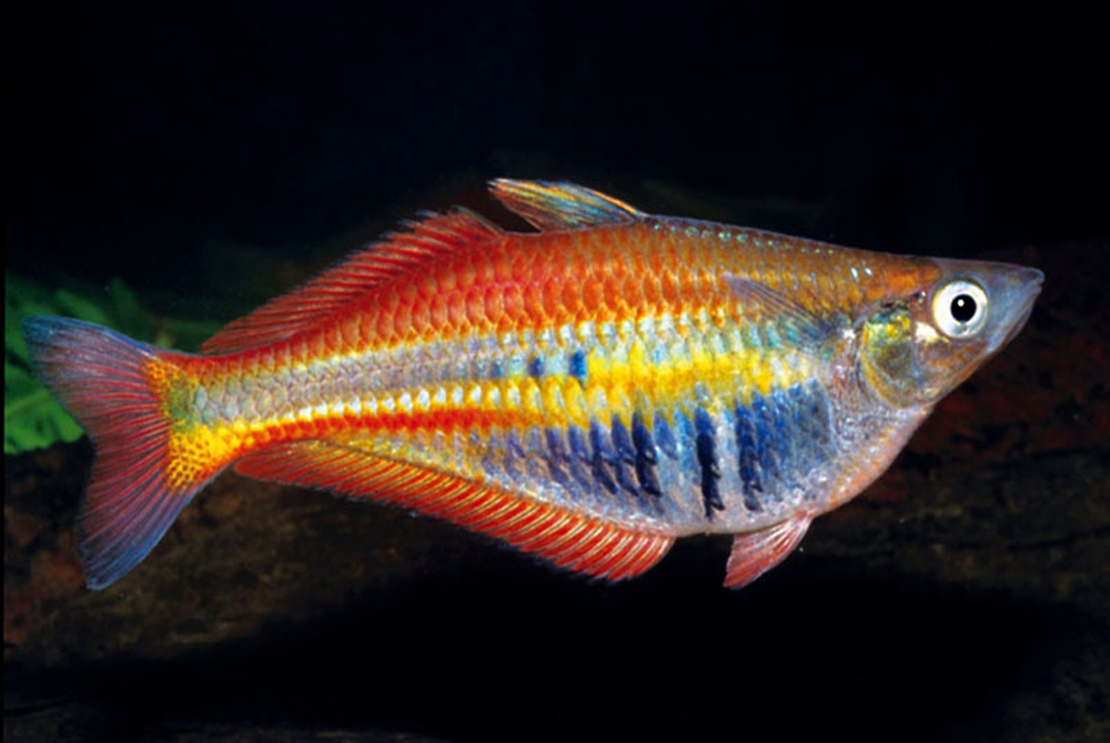 rainbow fish are small but breathtaking in colour varying from a ...