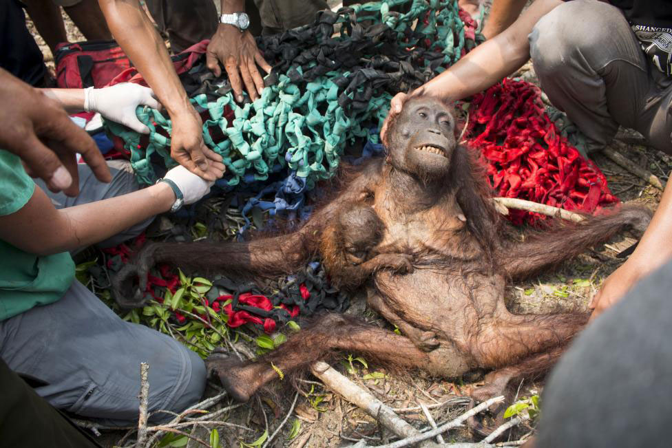 The malnourished mother orangutan and her child are saved by International Animal Rescue after being attacked by villagers in Katapang [International Animal Rescue/Reuters]