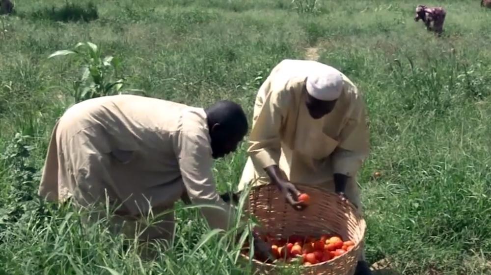 Kết quả hình ảnh cho nigeria tomato farmers