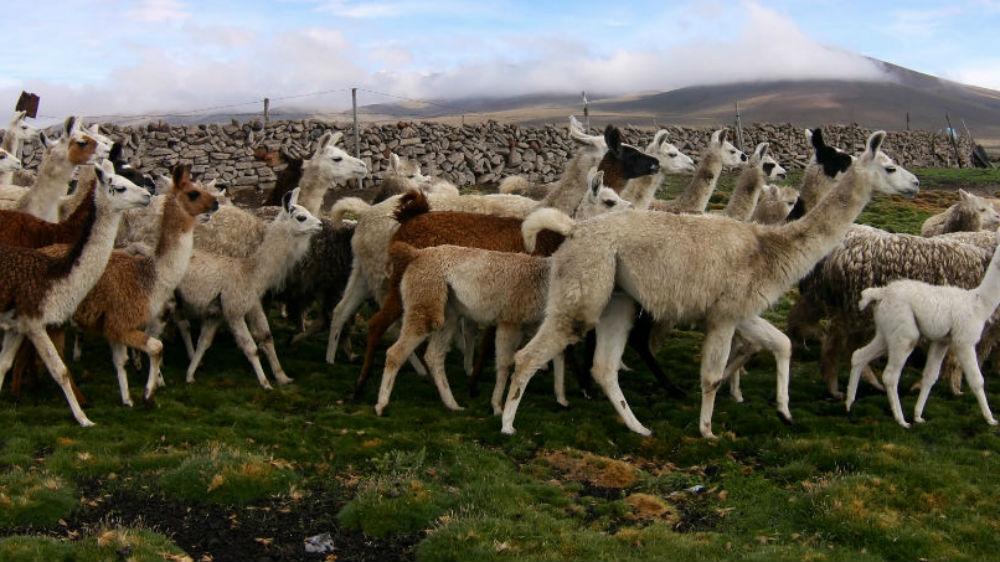 Pulling the wool over Peruvian shepherds' eyes - Al Jazeera English