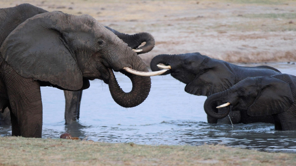 Conservation group blames poaching for 20 percent decline in elephant population over last decade.