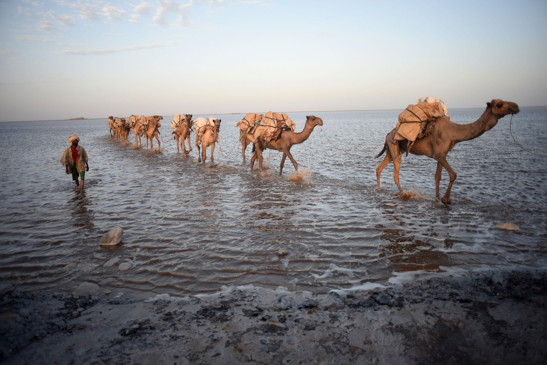 endangered camel caravans of the ethiopian salt mines