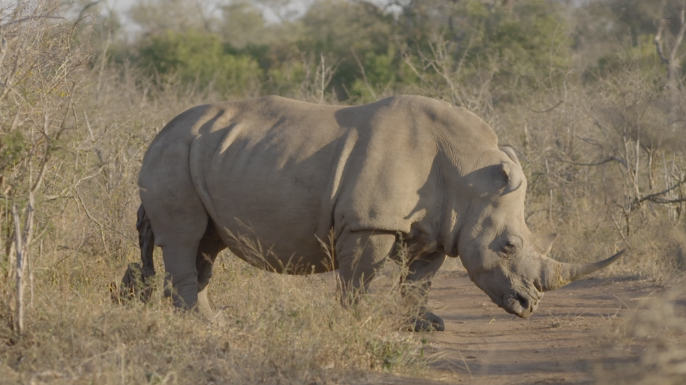 The story of a shot rhino and how the rescue workers came to its help.