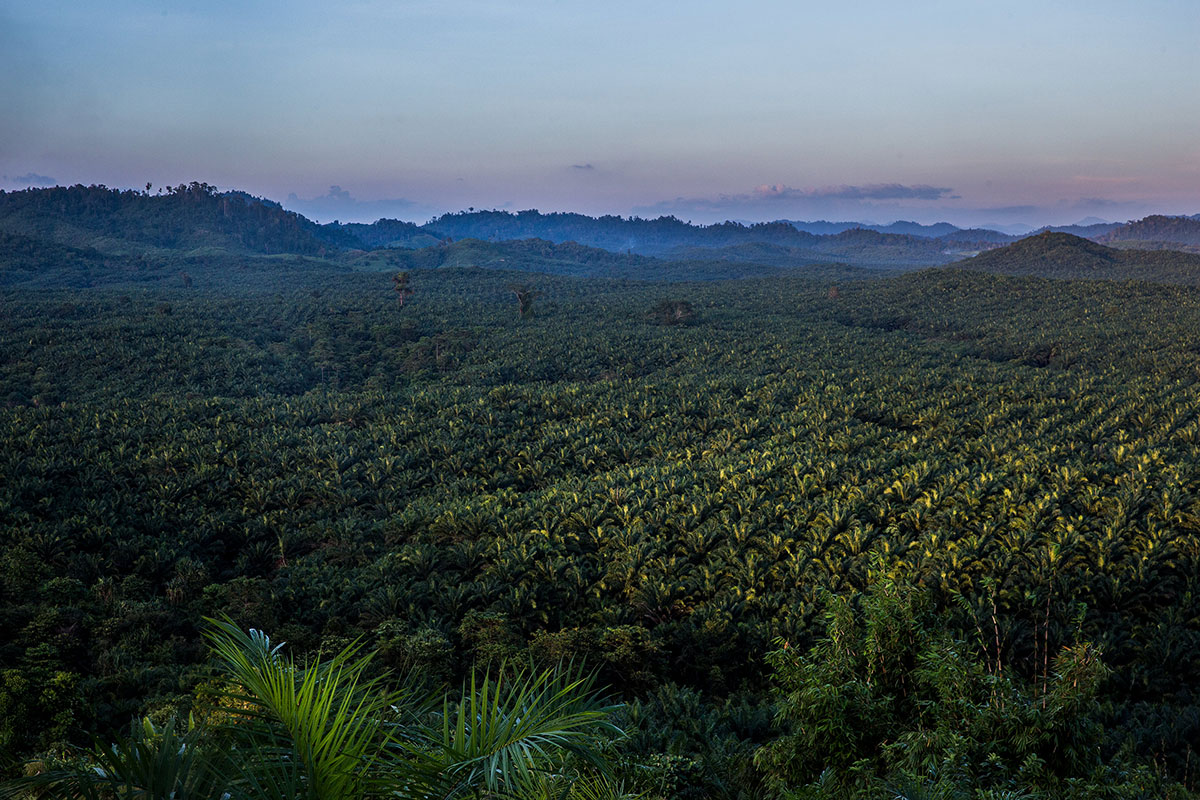 Yuzana's palm oil plantation outside Kawthaung, Myanmar. Huge plantations were built after thousands of acres of rainforest were cleared in southern Myanmar. [Taylor Weidman/Al Jazeera]
