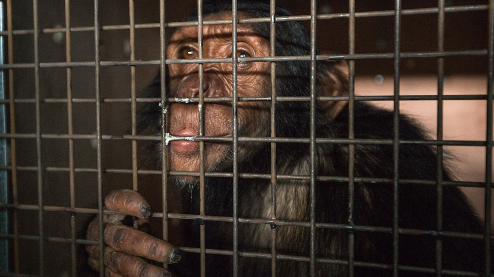Only 70 kilometres from war-riven Mosul, Manno the chimpanzee is moved from Iraqi zoo and taken in by Kenyan sanctuary.