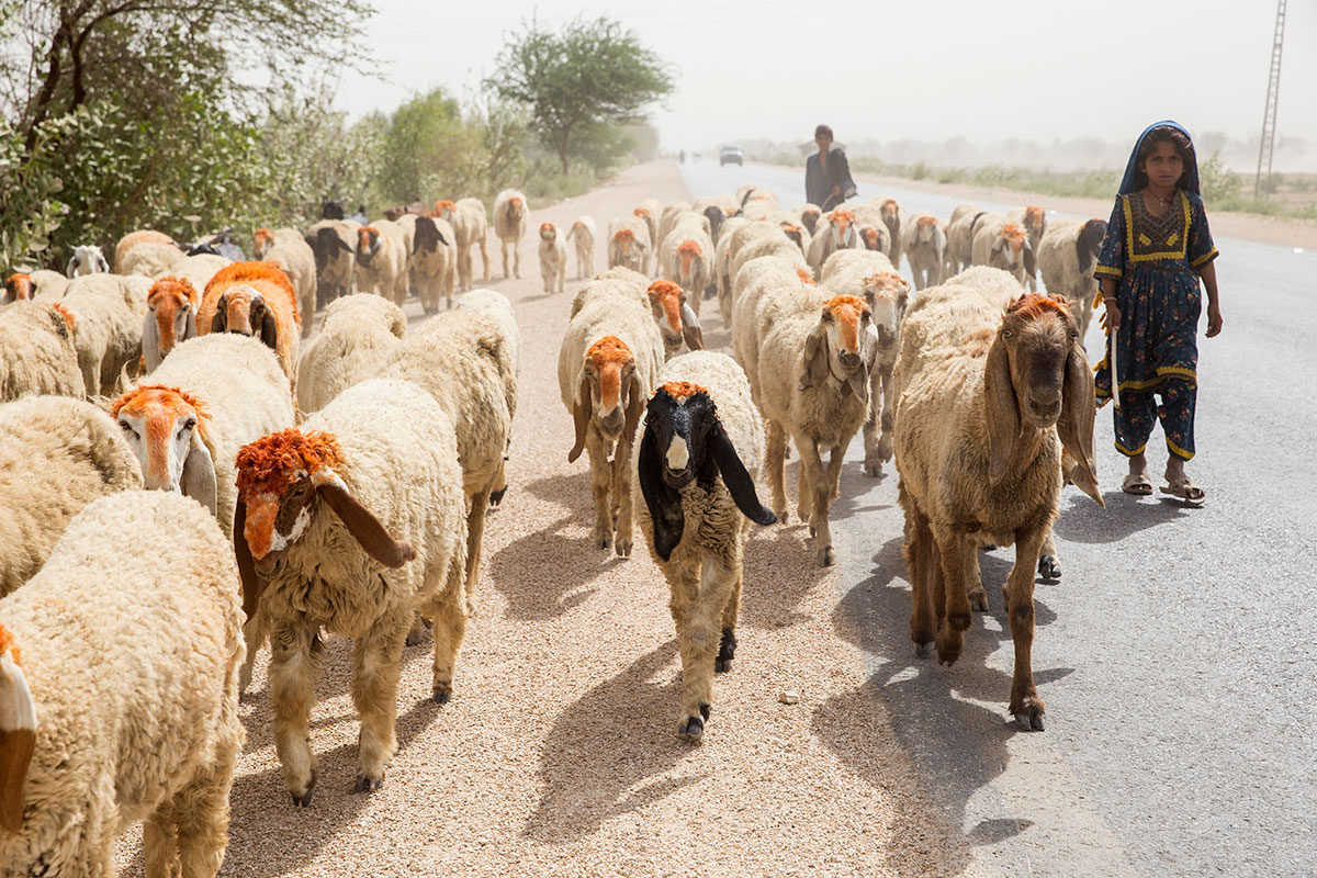 The main source of livelihood for Tharparkar's population is its livestock of 4.6 million animals - donkeys, camels, goats, cows, sheep and mules. In addition to providing milk for consumption at home and to the region, the animals are a source of cash when sold at local markets. [Faras Ghani/Al Jazeera]