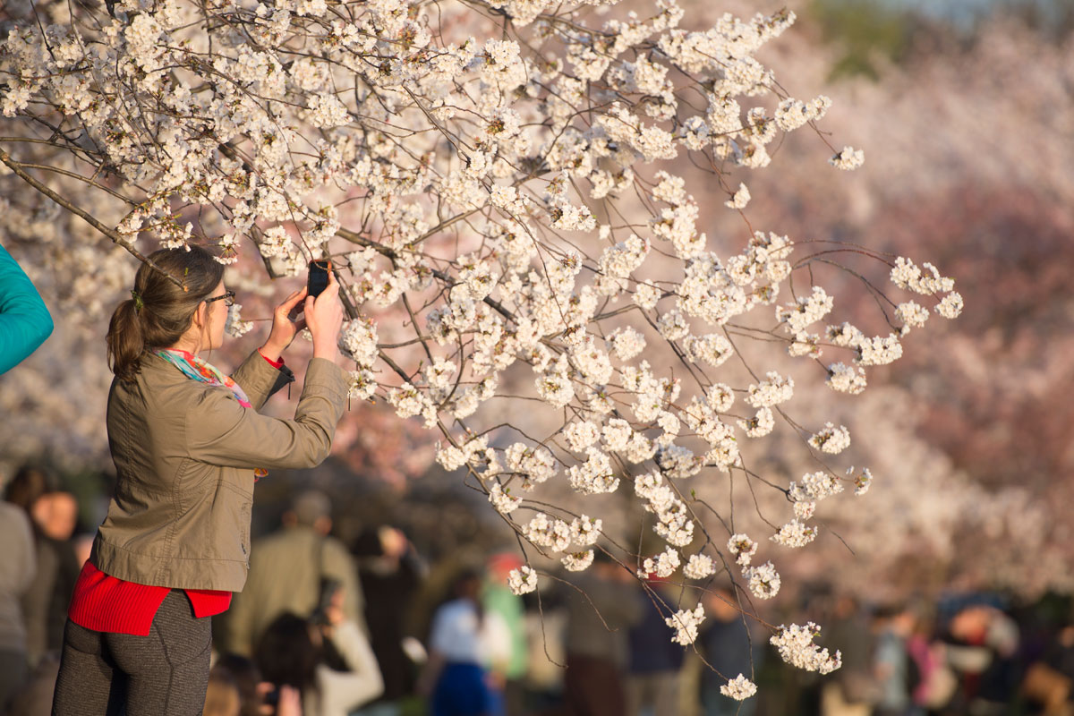 The National Cherry Blossom Festival is expected to at its peak until the end of the month [EPA/Michael Reynolds]