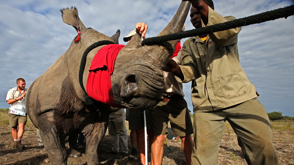 Increased demand from Asian markets fuels poaching and pushes African rhino populations to near extinction.