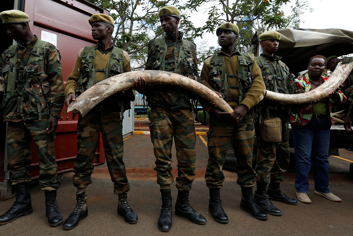 Kenya Wildlife Service rangers carry elephant tusks at their headquarters. An estimated 106 tonnes of confiscated ivory was to be set ablaze in Kenya''s capital Nairobi. [Thomas Mukoya/Reuters]