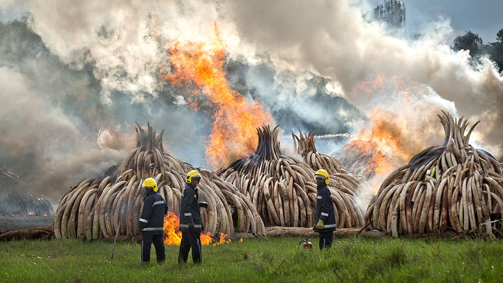 President Kenyatta sets fires to biggest stockpile of ivory tusks ever destroyed, in statement against ivory trade.