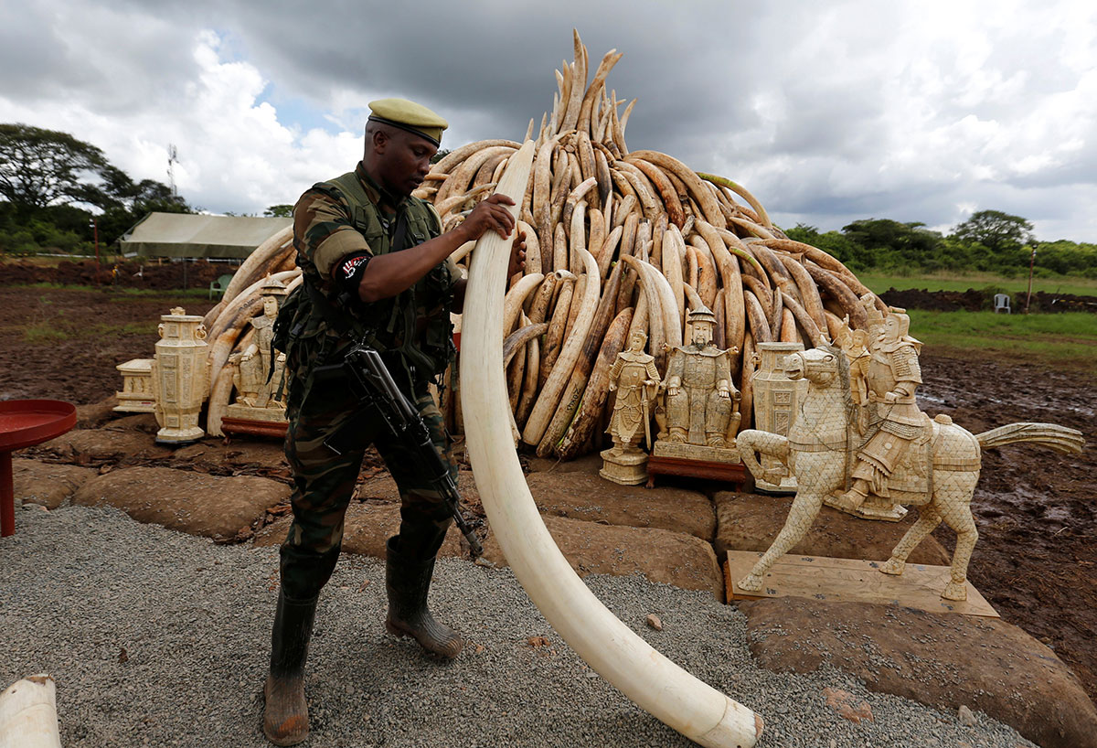 A Kenya Wildlife Service (KWS) ranger stacks elephant tusks, part of an estimated 105 tonnes of confiscated ivory which was set ablaze, onto a pyre at Nairobi National Park near Nairobi, Kenya. [Thomas Mukoya/Reuters]