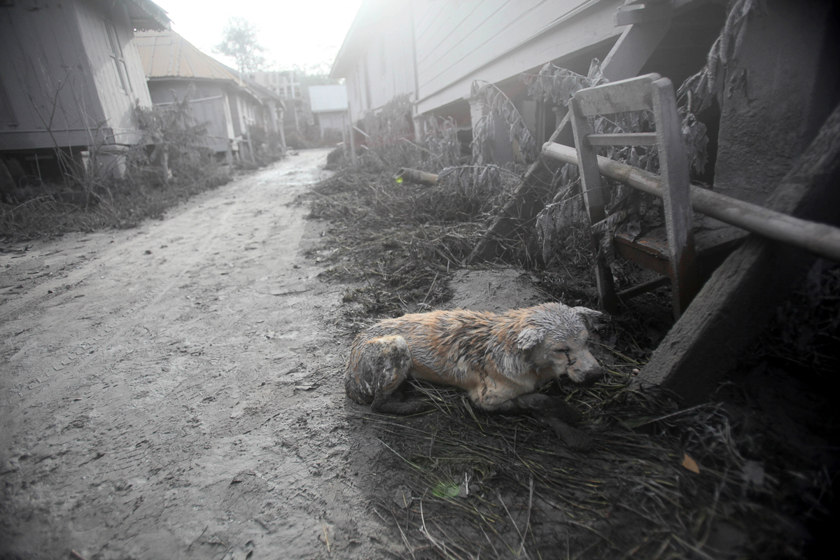 A dog covered in volcanic ash crouches down in an empty village after it was abandoned following the eruption of Mt Sinabung in Gamber village, in North Sumatra, Indonesia [Binsar Bakkara/AP]