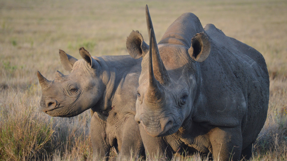 Lewa Wildlife Conservancy shows how conservation and community are bucking the poaching trend that kills thousands.