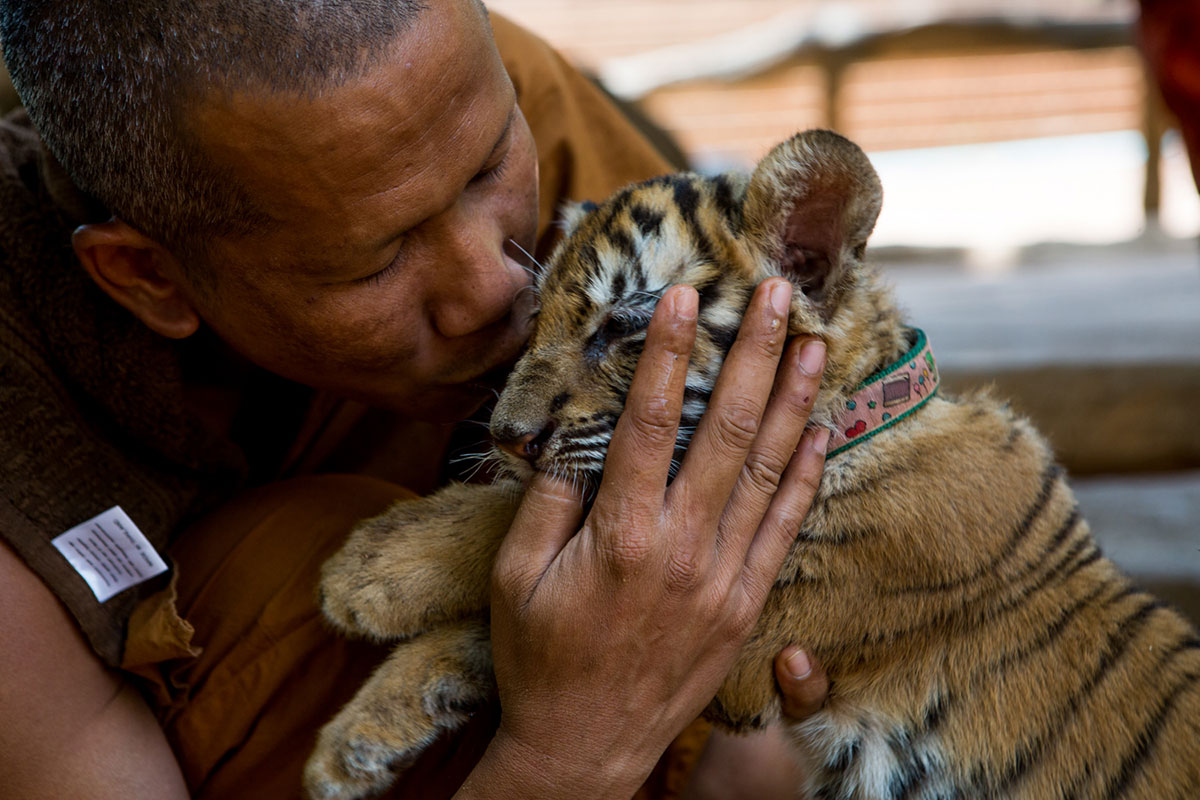 The monks at the Tiger Temple were given their first tiger in 1999 by local villagers, an abandoned and sickly cub who died soon after. [Amanda Mustard/Al Jazeera]