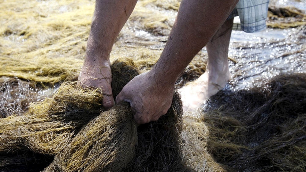 Scientists try to find out what causes the carpet of seaweed on the coastline affecting the fishing and tourism sectors.