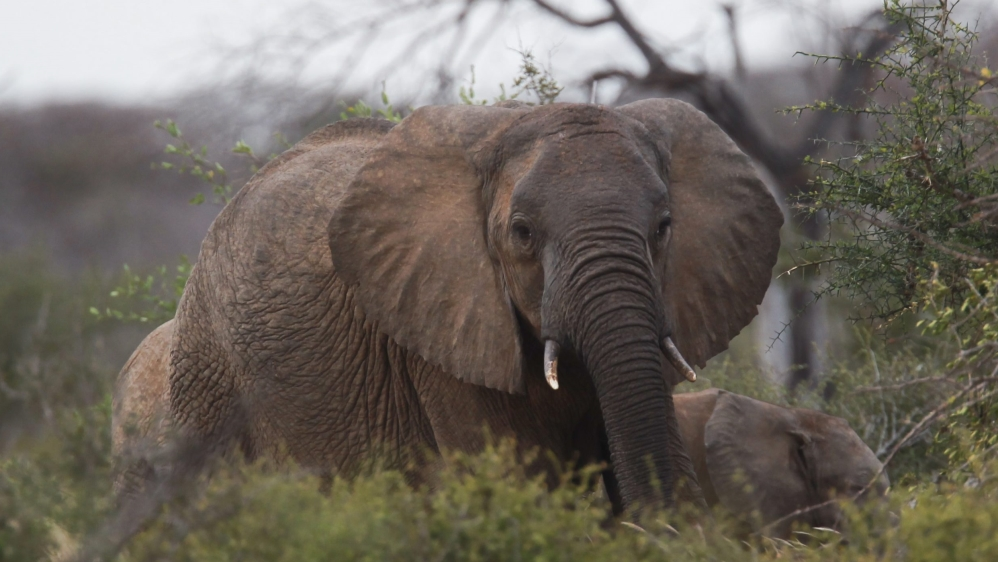 The continent's savanna elephants are in danger of being wiped out as poaching thrives, new research warns.
