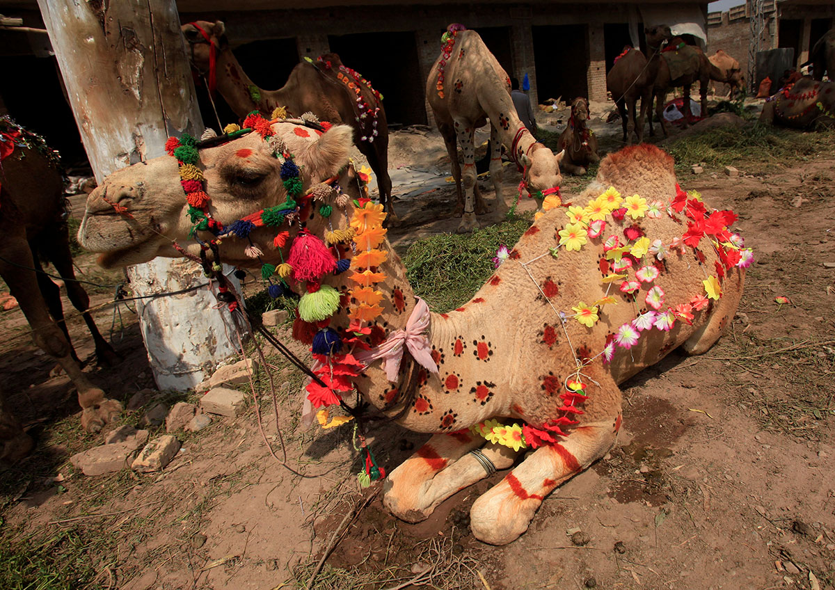 A camel for sale decorated with artificial flowers and henna patterns is seen at a makeshift cattle market before the Eid al-Adha festival in Peshawar, Pakistan. [Fayaz Aziz/Reuters]