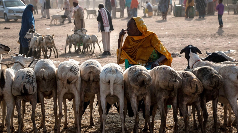Up to 80 percent of Somaliland's export income is generated by sales of sheep, goat, camel and cattle.