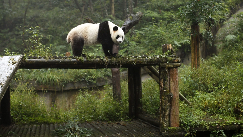 "Status of giant pandas upgraded to ""vulnerable"", but Eastern gorilla gets added to critically endangered list."