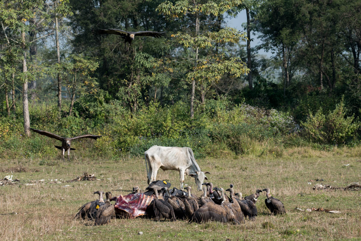 Pithauli is the world's first community-managed vulture restaurant. It was set up inside Chitwan's buffer zone away from busy roads and construction sites. Local farmers sell their sick and injured cows to the restaurant for $3; the animals are then left to freely roam the site until their death. [Alexander Lerche/Al Jazeera]