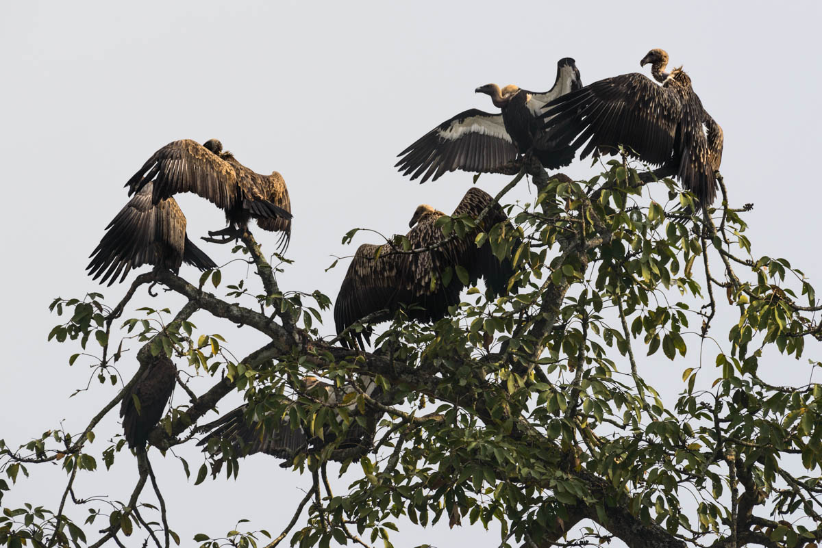 As the rising sun burns away the morning fog in Chitwan National Park's Pithauli restaurant, a committee of vultures perched high in the tree branches unfurl their wings to let the first warmth of the day heat their bodies. White-rumped and Himalayan griffon vultures are visible here. [Alexander Lerche/Al Jazeera]