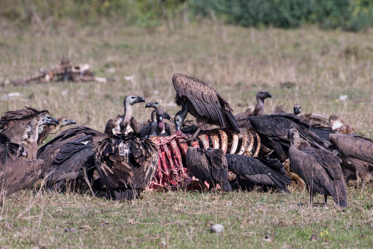 Vultures feed entirely through scavenging, rather than hunting or grazing. It takes just an hour for them to transform a carcass into a pile of bones. People once viewed them as disease-spreading creatures and a sign of impending death in some cultures. 'In the beginning, the villagers didn't like the vultures being in the area because they were a bad omen,' says Hewal. 'But now, people are happier because we are supporting the local biodiversity and bringing in some tourism.' [Alexander Lerche/Al Jazeera]