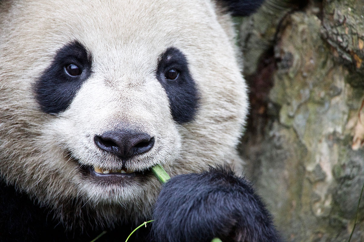 Once the most iconic symbol of animals threatened with extinction, pandas were taken off the endangered list in 2016 by the International Union for the Conservation of Nature. Surveys suggest the wild population has increased to more than 1,800. But China continues to give them the highest level of protection. [Steve Chao/Al Jazeera]
