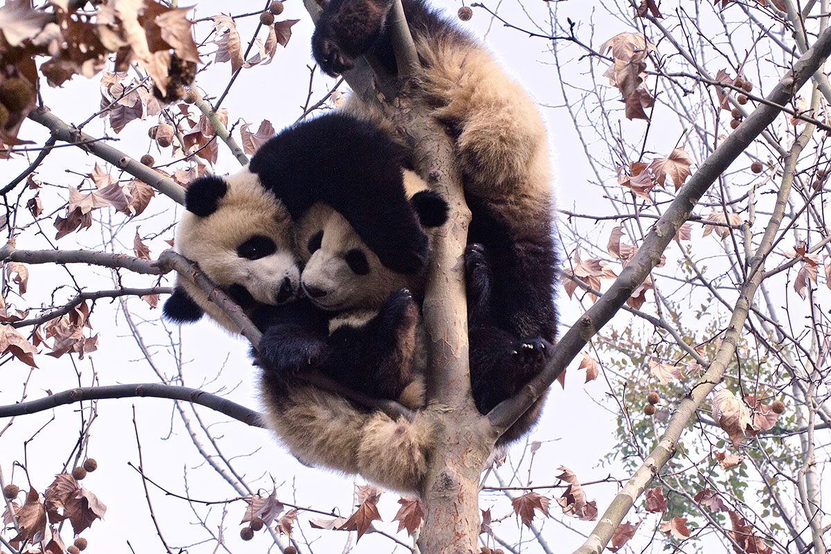 A study on the giant panda