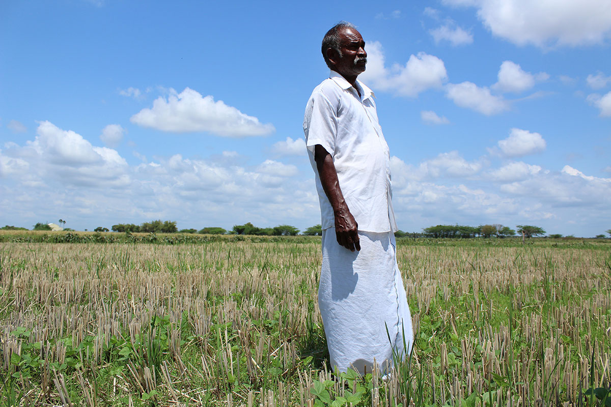Balakrishnan Marimuthu's four-acre (1.6 hectare) farm could not yield even 10 percent paddy this year, as compared with a harvest of 110 sacks (each weighting 60kg) last year. After the crop failed owing to lack of rain, Balakrishnan sowed green gram to offset his loss and improve the soil quality of land. [Sharada Balasubramanian/Al Jazeera]