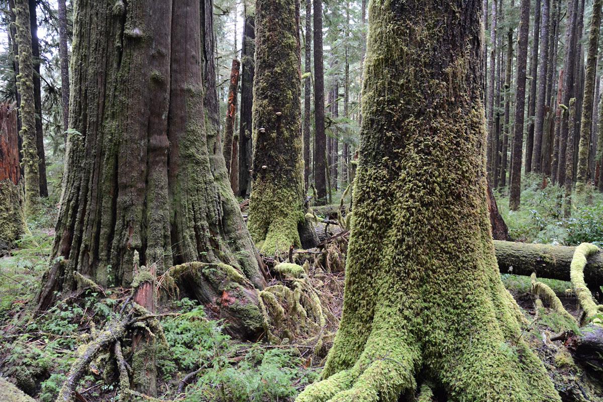 Common Trees On Vancouver Island