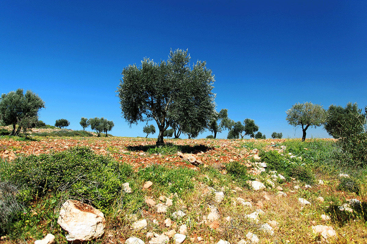 Palestine's iconic olive trees are key to the local economy. The olives from the 11 million trees across these lands support 100,000 families. [Leila Molana-Allen/Al Jazeera]