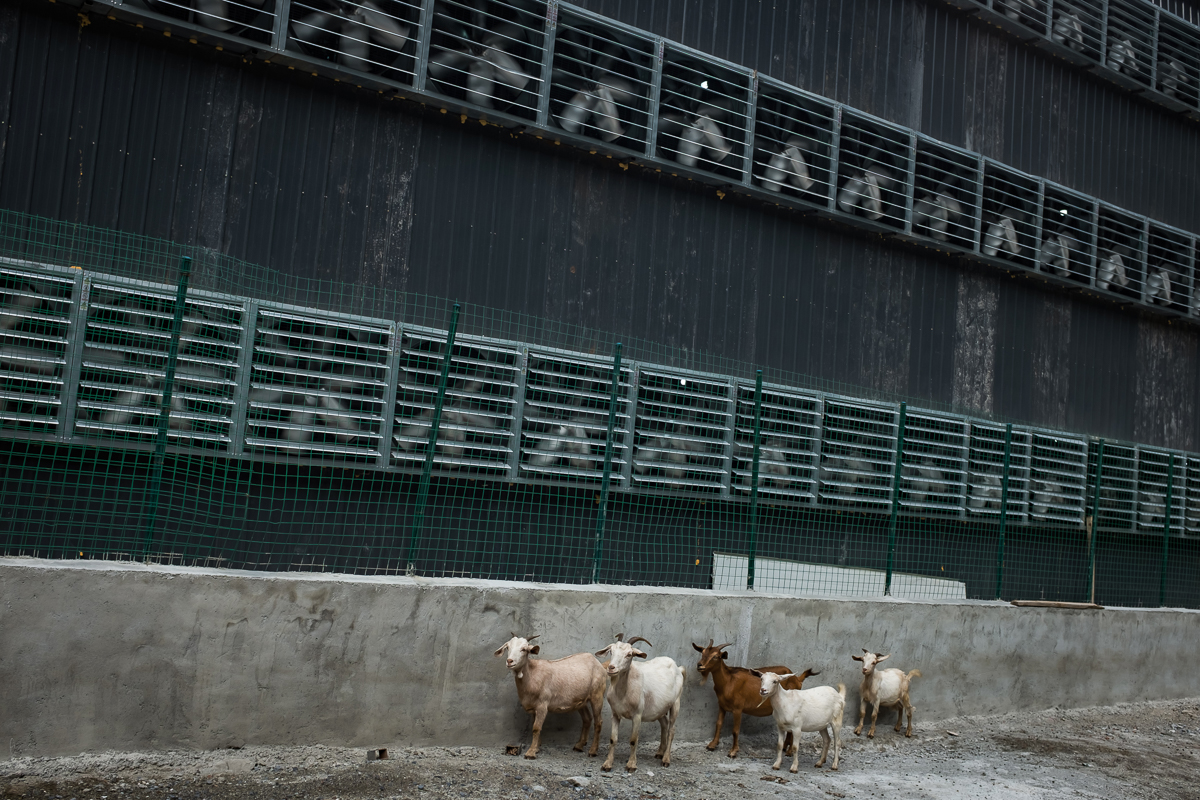 Goats from a nearby village walk next to the cooling fans of a bitcoin mine. China is one the main exchange markets for bitcoin although the digital currency exists in a legal limbo and is prone to speculation. The country hosts some of the biggest 'mining pools' in the world, clusters of supercomputers that mint new bitcoins and maintain the system. [EPA/Liu Xingzhe/CHINAFILE]