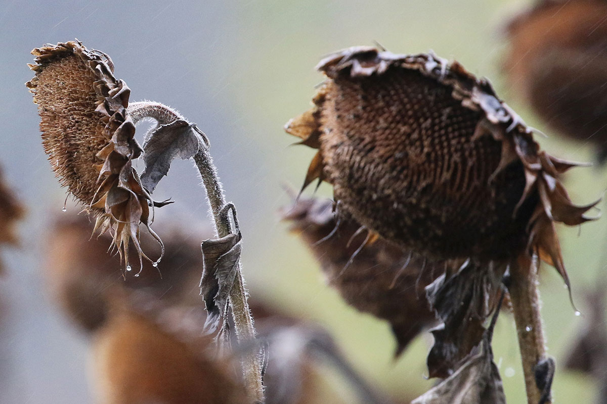 Autumn temperatures and less sun also means sunflowers are withering on the vine in Hanover, Germany. [Focke Strangmann/EPA]