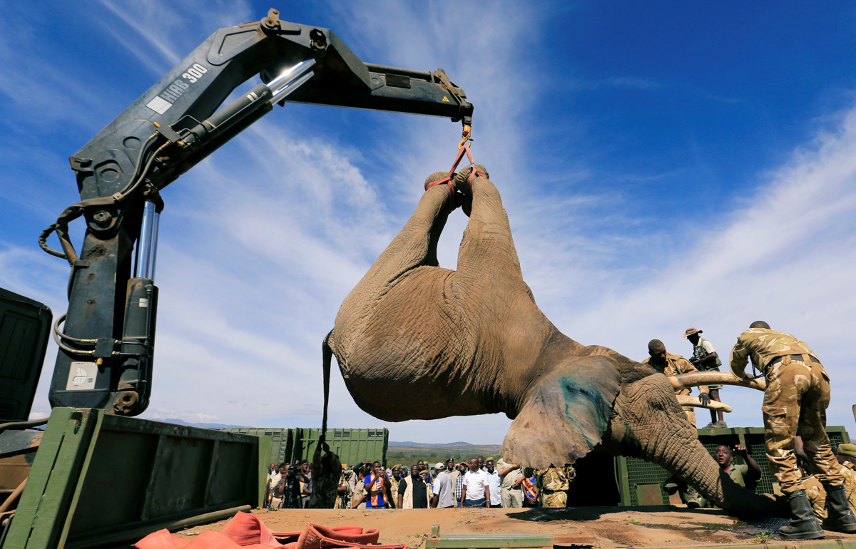 Kenya Wildlife Service rangers load a tranquillised elephant onto a truck in Solio Ranch during a translocation to Ithumba Camp in Kenya's Tsavo East National Park. [Thomas Mukoya/Reuters]