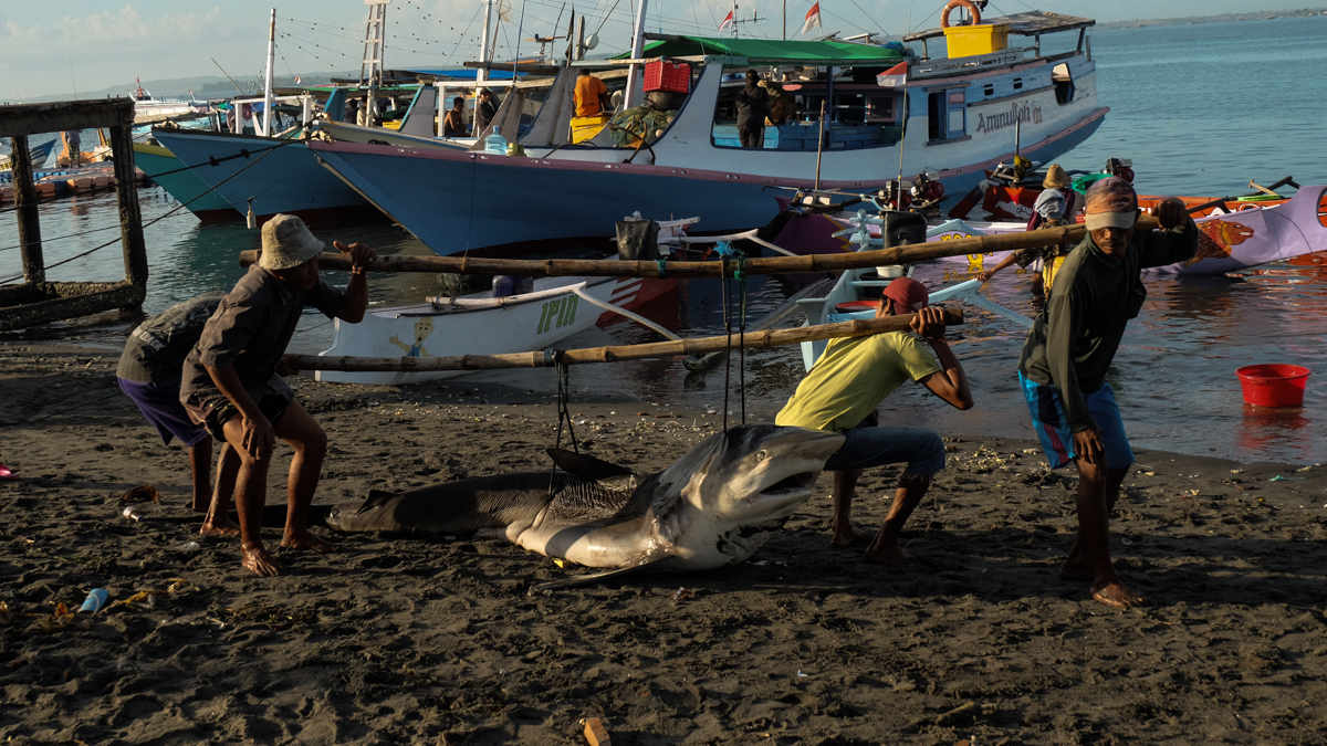 Fishermen carrying a shark that is almost 3 metres long. [Syarina Hasibuan/Al Jazeera]