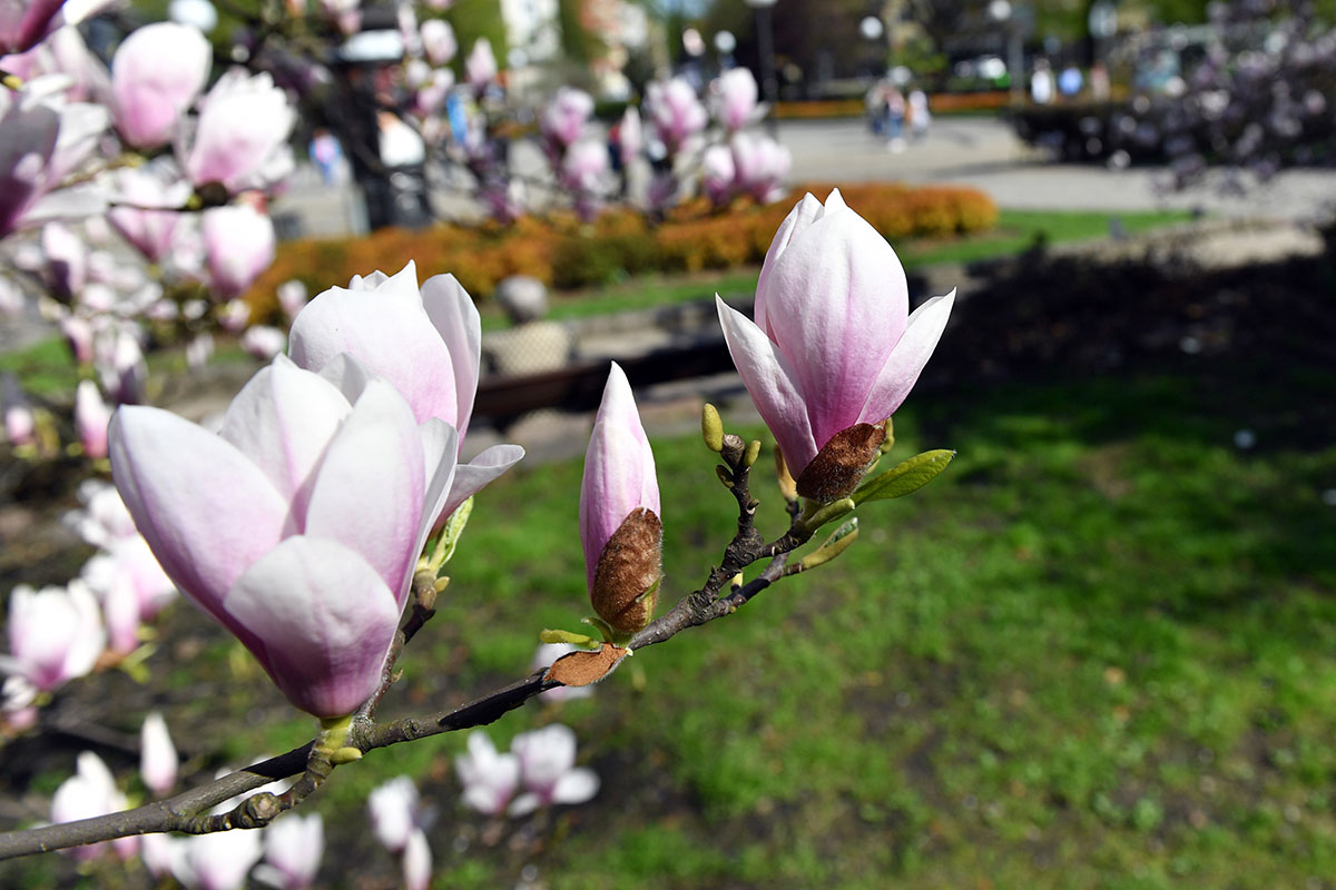 It's enough to bring out the magnolias on a sunny spring day of 25 degrees Celsius in Grunwaldzki Square in Szczecin, Poland. Average for April is 14C. [Marcin Bielecki/EPA-EFE]