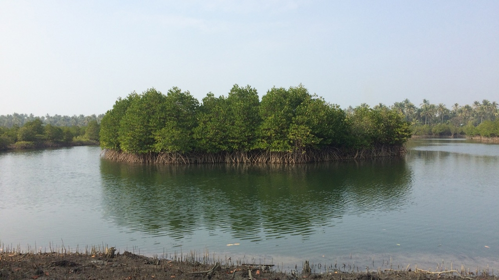 Cyclone shield: Breathing new life into Myanmar's mangroves