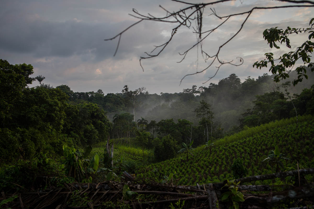 Coca fields at the Rio Chagui are financed by the FARC dissident groups, according to the local community. 'These are the groups who are giving the money for the coca cultivation now,' says one of the local coca farmers. [Lena Mucha/Al Jazeera]