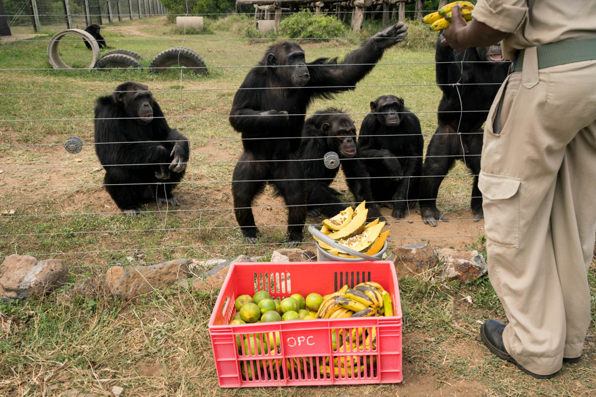The chimps catch their breakfast of papaya, oranges and bananas through the fence. [Adriane Ohanesian/Al Jazeera]