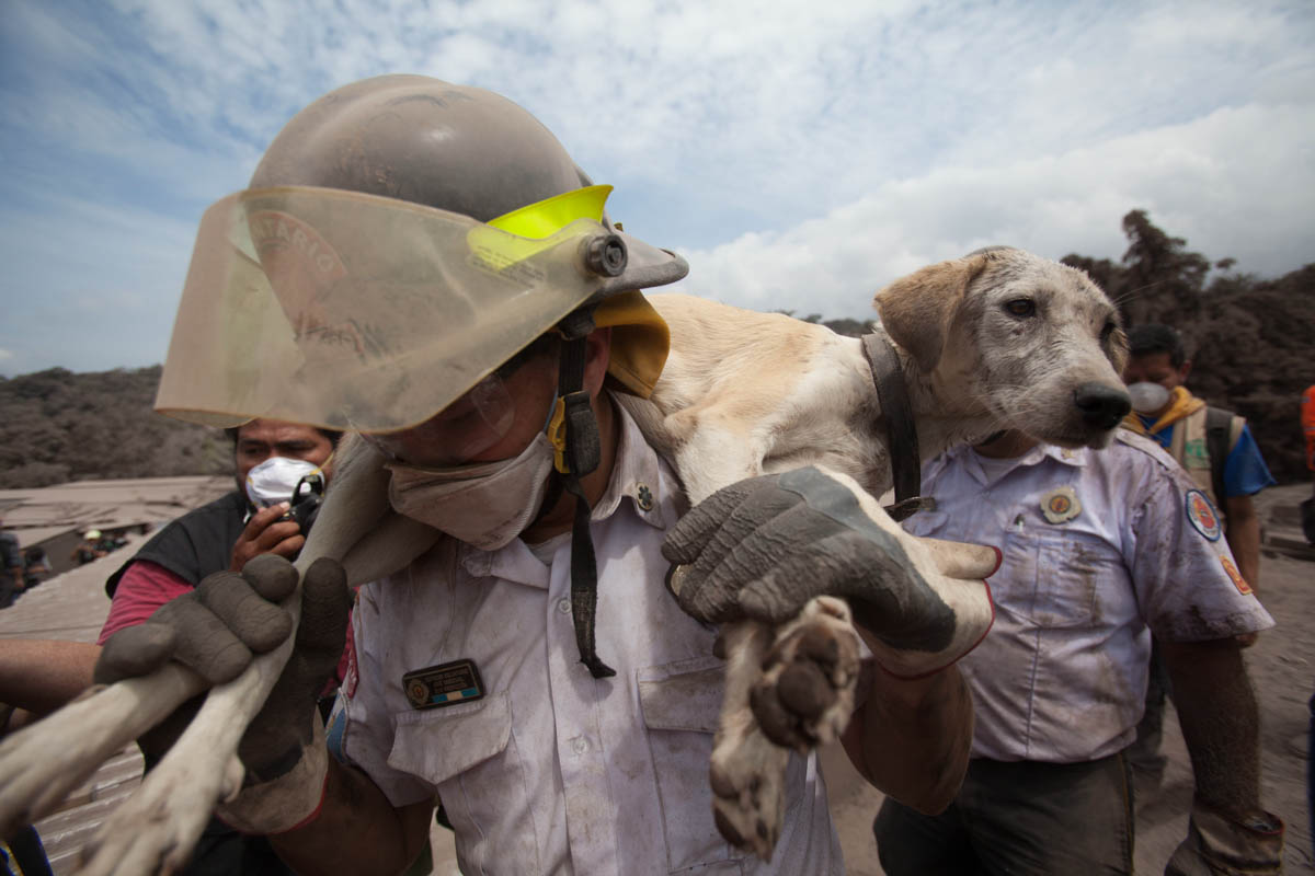 A volunteer firefighter rescues a dog from the disaster zone near the Volcan de Fuego, or Volcano of Fire, in Escuintla, Guatemala. [Moises Castillo/AP Photo]