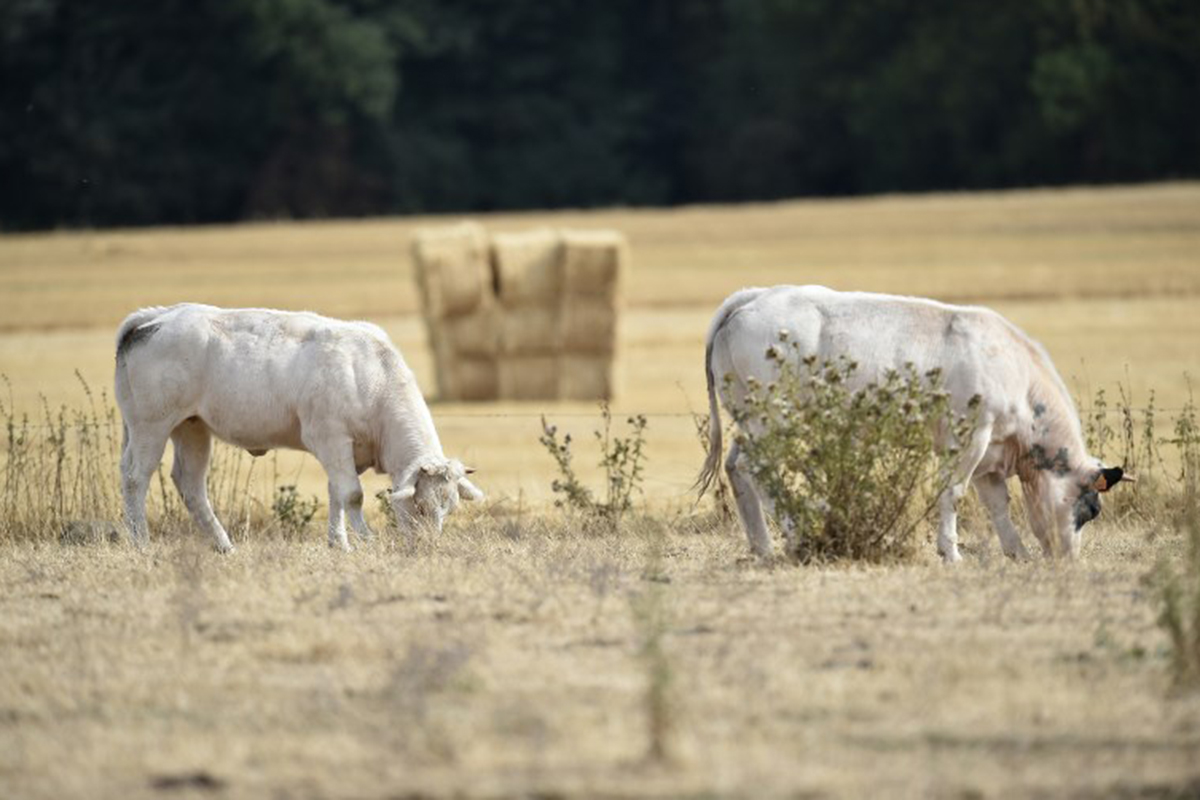 Grazing has been badly affected by the heat with many farmers having to dip into winter feed. [John Thys/AFP]