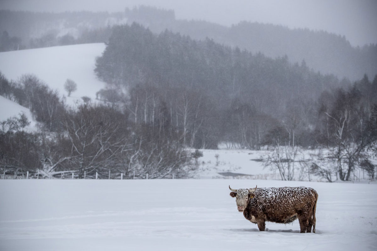A cow stands in a snow-covered field near the village of Vysluni, Czech Republic. [Martin Divisek/EPA]