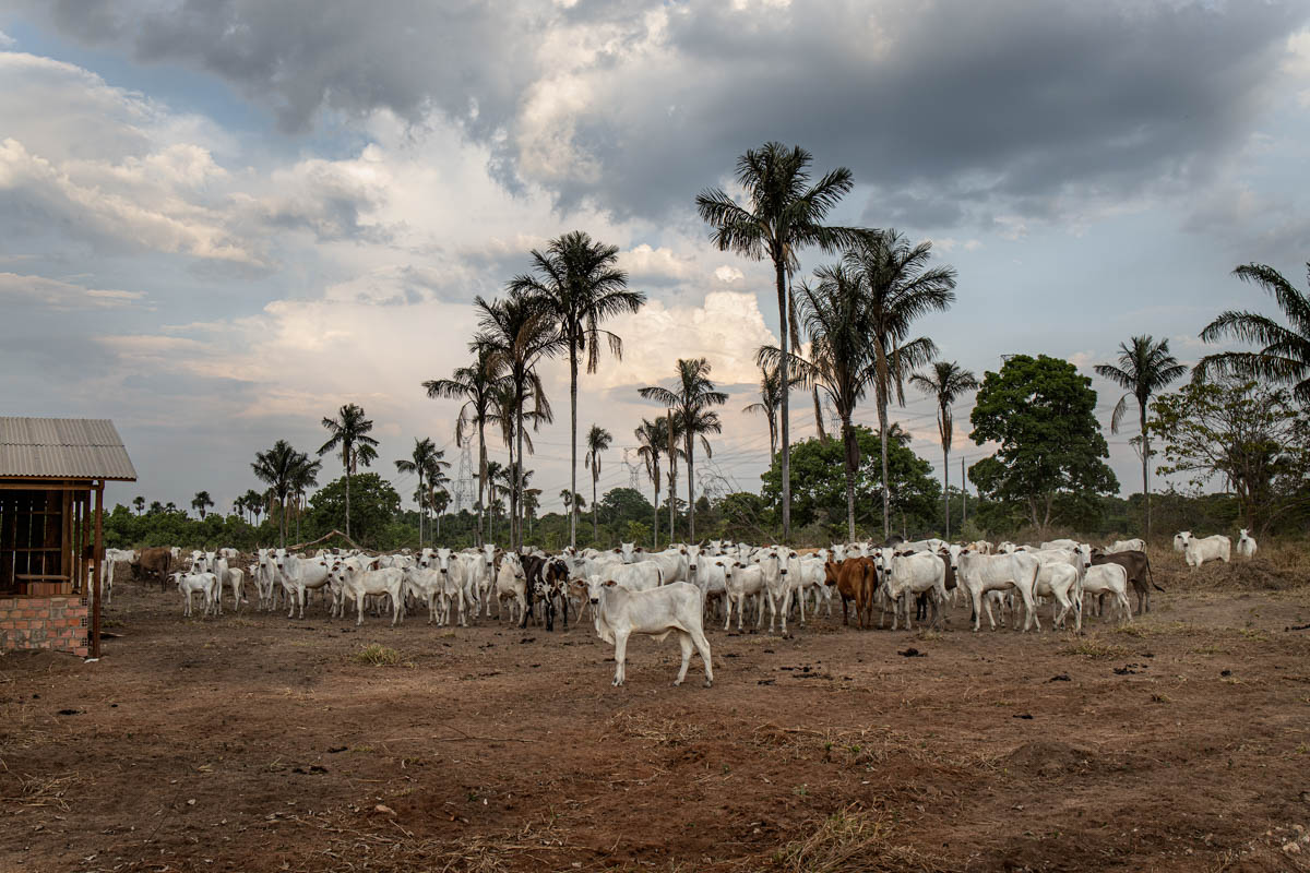 An area of forest that has become cattle pasture near Porto Velho. The beef trade is one of the most profitable businesses in the country and the need for grazing land is one of the main causes of deforestation. The process begins with the theft of the best wood for illegal sale and the ground is subsequently set on fire. Once the land is cleared, the forest is used to graze cattle and then grow soya. [Fabio Bucciarelli/Al Jazeera]