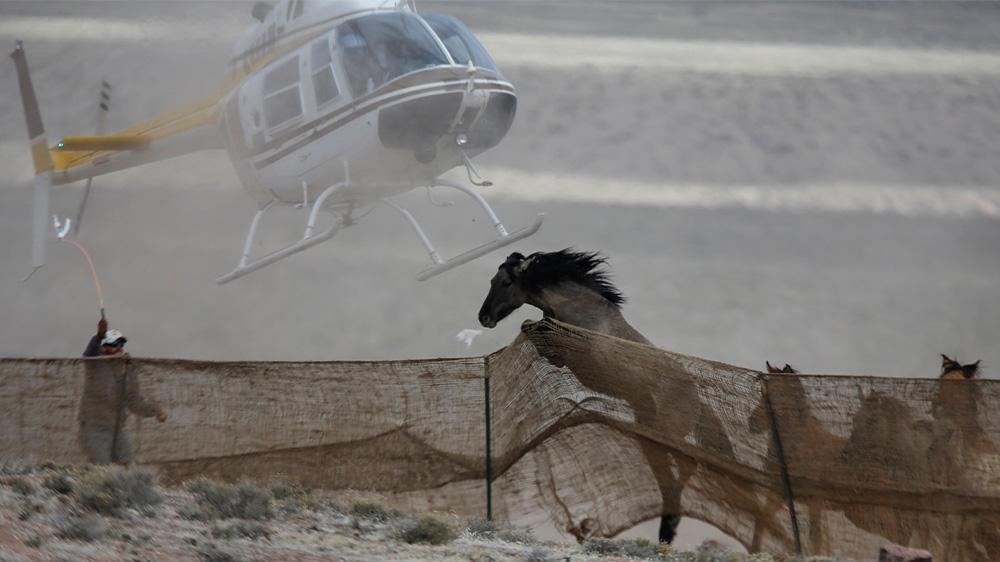 US wild horses