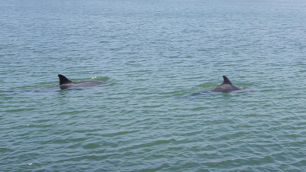 Oil spill threatens rare Bangladeshi dolphin breeding zone