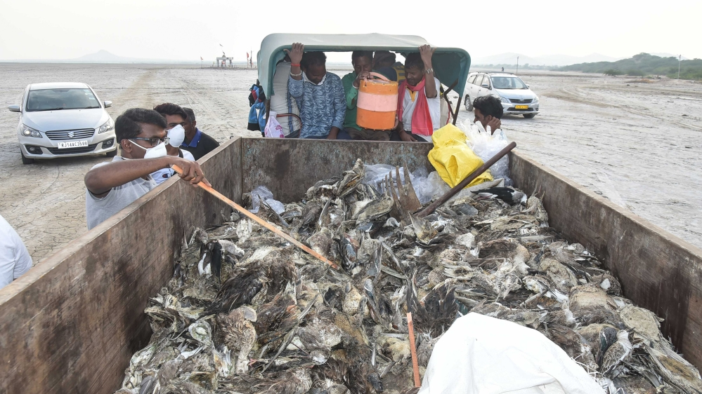 Bombay Natural History society officials check the dead birds at the Sambhar Lake, on November 11, 2019 in Jaipur, India. Thousands of migratory birds of about ten species were found dead around Sambh