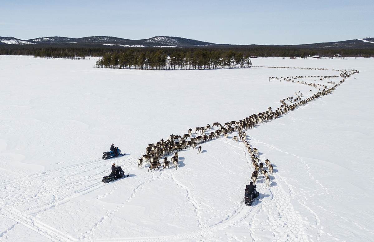 Reindeer herders travel over Lake Raddnavrre to Gallok. The area is a winter pastureland for two Sami communities, Sirges and Jahkagasska. In Sweden, 51 Sami communities participate in reindeer herding and herders travel with their animals to different foraging grounds throughout the seasons. [Tor L. Tuorda/Al Jazeera]